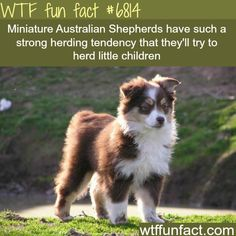 Facts about your Australian Shepherd. Cute Puppies, Cute Dogs, Aussie Puppies, Australian Shepherd Red Tri, Fun Facts About Animals, Cool Animal Facts, Facts About Dogs, Wtf Fun Facts, Crazy Facts
