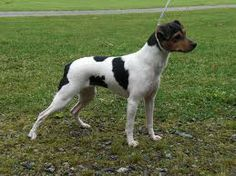 Brazilian Terriers are one of the terrier breeds that are descended in the Fox Terrier.