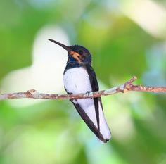 Foto beija-flor-azul-de-rabo-branco (Florisuga mellivora) por Clovis Pagotto | Wiki Aves - A Enciclopédia das Aves do Brasil