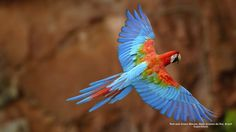 Red and Green Macaw, Mato Grosso do Sul, Brazil Soar with dexterity. Let the wings of this Greenwing Macaw inspire you. Green Wing Macaw, Fox Pups, Toucan, Common Birds, Bird Wallpaper, Exotic Birds, World Of Color, Nature Images, Parakeet