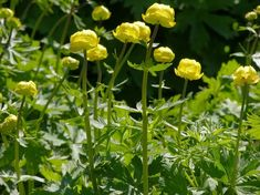 Globeflower, Trollius europaeus - Flowers - NatureGate