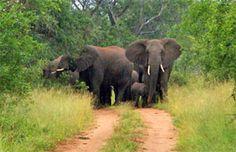 uMkhuze Game Reserve, Zululand, KwaZulu-Natal   South Africa