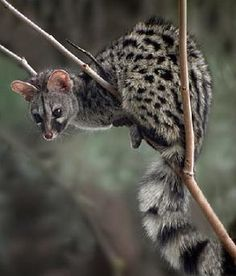 El aspecto de la gineta puede recordar al de un gato, aunque más estilizado. Su cabeza es alargada, con unas orejas grandes y redondeadas. El pelaje, gris amarillento, está moteado a franjas en el dorso, mientras que la cola, larga y peluda, presenta unos anillos oscuros.