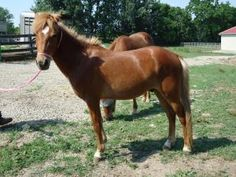 Peanut is an adoptable Pony Pony in Marengo, OH. **Please click on our organization name 'Circle P Sanctuary and Ranch' for more information on adoption policies and fees** ____Peanut History____ Pean...