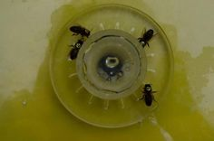 A las abejas también les gusta la #cafeína - Contenido seleccionado con la ayuda de http://r4s.to/r4s