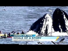 A surfer and kayakers got quite a surprise when two humpback whales lunged out of the water and nearly came crashing down upon them near Santa Cruz, California.