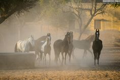 Le Marwari - Equine Photo