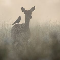 The hind and the Jackdaw...http://www.stevemackayphotography.com