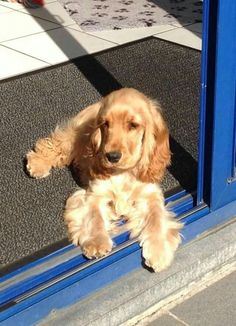 English Cocker Spaniel ~ Classic Look & Trim Golden Cocker Spaniel, Cocker Spaniel Puppies, Spaniel Dog, Cute Dogs And Puppies, I Love Dogs, Doggies, English Cocker, English Spaniel, Cockerspaniel