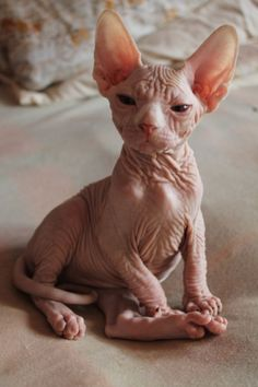 mysphynx.eu Beauty of hairless cat , kitty , kittens , animals , photography , sphynxes