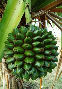 One of many varieties of the Pandanus Fruit Fruit Plants, Fruit Trees, Trees To Plant, Fruit And Veg, Fruits And Veggies, Fresh Fruit, Tropical Fruits, Tropical Garden, Strange Fruit