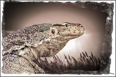 Water Monitor Lizard By LeeAnn McLaneGoetz McLaneGoetzStudioLLC.com  The water monitor (Varanus salvator) is a large lizard native to South and Southeast Asia. Water monitors are one of the most common monitor lizards found throughout Asia.#lizard,#water Monitor,#reptile