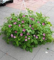 Mesimarja (Rubus arcticus)