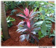Ti Plant, Red Sister (Cordyline Fruticosa) - A red ti plant cultivar. Full sun. Propagate by tip cuttings that include ~ 6in of the cane or by short lengths of the cane placed horizontally or vertically in the rooting medium. Pair with Croton, Ti Sherberts, Bromeliads, Liriope, and Bismarckia Palm or Roebelenii Palms.