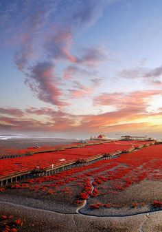 A red sea of marshes in Panjin