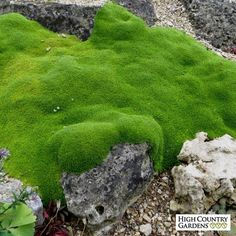Arenaria is a great groundcover plant with tiny bright green evergreen leaves. Looks great as a crack filler between flagstone and paving stones. Images courtesy of Plant Select.