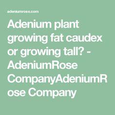 Adenium plant growing fat caudex or growing tall? - AdeniumRose CompanyAdeniumRose Company