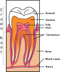 In dentistry there is a lot of information to know. Sure as the anatomy of the tooth necessary in some procedures.