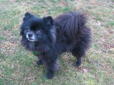 Gallery For > Blue Pomeranian