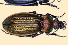 Carabus monilis Necklace Ground Beetle Beetles, Bugs, Animals, Insects, World, Animales, Animaux, Animal, Animais