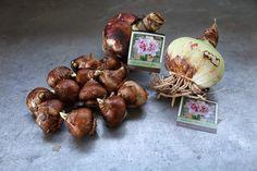 Planting Amaryllis And Paperwhites - The Martha Stewart Blog