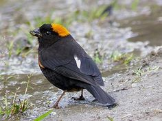 Gold-naped Finch, India -- The golden-naped finch is a species of finch in the Fringillidae family.