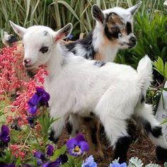Baby goat kids
