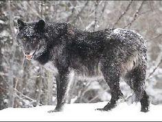 Todas las especies de lobos - YouTube