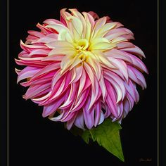 Verrone's DF Dahlia | by ChristopherLeeHewitt (Away)