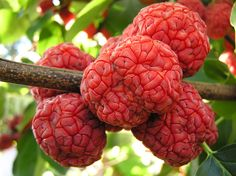 Che fruit - Maclura tricuspidata (syn Cudrania tricuspidata). Becoming huge in The States, with female plants grafted onto Osange Orange roots bearing the best fruit.
