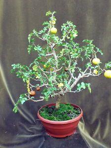 *rs Bonsai Sodomsapfel Solanum linnaeanum 062