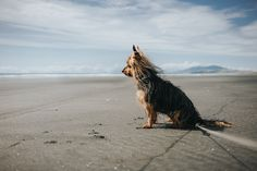 https://flic.kr/p/DuFSJz | Missy's enjoying Kawhia Ocean Beach | This is Missy, the dog of my girlfriends grandma. And she sure makes a great beach-model ;-)  Sony A7rII // ZEISS Loxia 2.0