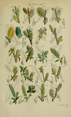 British wild flowers.. London,J. Van Voorst,1876.. biodiversitylibrary.org/page/12352894
