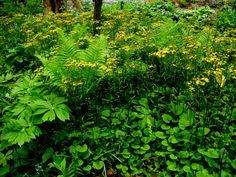 Senecio aureus (Golden groundsel)