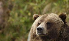 """Un oso grizzly mira en St-Félicien Zoológico de Vida Silvestre en St-Félicien, Quebec 24 de septiembre de 2008. Los Parques de Canadá estima que hasta 20.000 osos grizzly permanecen en el oeste de Alberta, el Yukón y los Territorios del Noroeste y la Columbia Británica. El Comité sobre la Condición de Vida Silvestre en Peligro en Canadá enumera oso pardo como una """"preocupación especial""""."""
