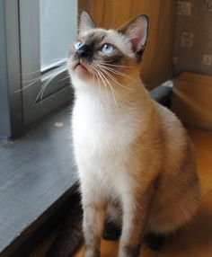 Pictures Of Balinese Pictures Of Balinese Cat Breed With Images Balinese Cat Russian Blue Cat Cats