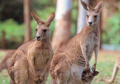 zoo de taronga sydney kangourous
