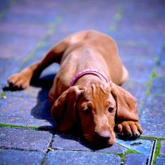Hungarian Vizsla, beautiful dogs and great temperament Vizsla Puppies, Cute Puppies, Cute Dogs, Dogs And Puppies, Vizsla Dog, Rhodesian Ridgeback, Doggies, Best Dog Breeds, Best Dogs