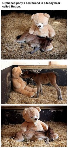 "Ohhhh . . . . <3  ""Meet Breeze and Button: Orphaned foal makes friends with a giant teddy bear after being abandoned by his mother."""