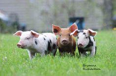 Farm Animals, Cow, Cattle