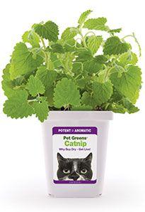 Pet Greens ® Live Catnip #catsincare - Care for cat at Catsincare.com!