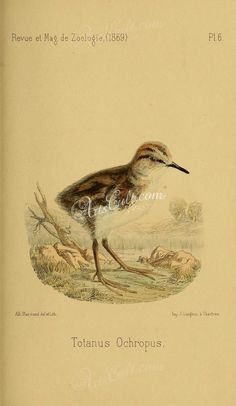 Green Sandpiper - high resolution image from old book.Size in pixels: Crafts Beautiful, Vintage Artwork, France, Vintage World Maps, Clip Art, Victorian, Birds, Green, Painting
