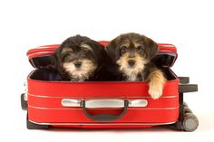 Consiga que su perro esté listo para viajar Aunque las vacaciones y viajar son emocionantes, pueden ser potencialmente peligrosas para los perros como ir al extranjero puede exponer a las enfermedades que pueden entrar por el contacto con otro ambiente. Algunas de estas enfermedades pueden tener efectos graves sobre la salud de un perro y …