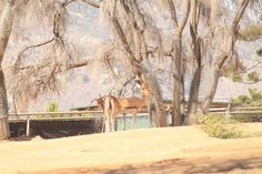 Safari tree protection San Diego Zoo, Safari, Moose Art, Animals, Animales, Animaux, Animal, Animais