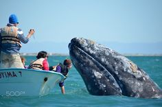 Close Encounter - A friendly gray whale approaches whale watchers in a panga in Mexico's San Ignacio Lagoon.