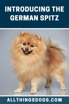 The German Spitz is still a fairly rare breed in the USA. You could easily mistake them for their close relative, the Pomeranian, a much more common breed. Read our breed guide to learn more about this fluffy dog. German Spitz, German Dogs, Spitz Dogs, Fluffy Dogs, Hunting Dogs, Pomeranian, Small Dogs, Dog Breeds, Pointed Ears