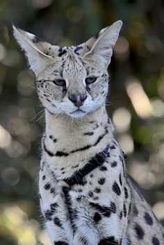 Cute Pet Animals Pictures plus Cute Kittens For Sale Gumtree beneath Pictures Of Cute Animals In The Wild if Cute Cat Good Morning Memes this Cute African Animals Pictures Beautiful Cats, Animals Beautiful, Cute Animals, Savanna Cat, Huge Cat, Serval Cats, Siamese Cats, Image Chat, Exotic Cats
