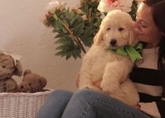 Buy Cheap Goldendoodle Puppies for Sale near me Goldendoodle Puppy For Sale, English Goldendoodle, Labradoodle, Puppies For Sale, Buy Cheap, Retriever Puppy, Golden Retrievers, Dogs, Adoption