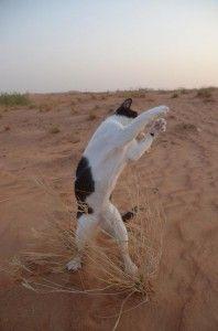 【画像】砂漠で孤独にシャドーボクシングをする猫 UAE(アラブ首長国連邦)に住む猫の生活 - ライブドアニュース