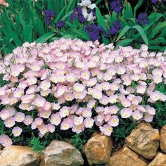 "Showy Pink Primrose  Perennial  8""-24""  Blooms summer to Fall  Prune to control growth"